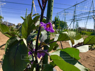 茄子の花の写真・画像素材[1192865]
