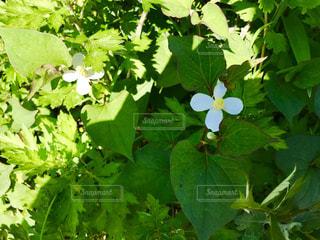 ドクダミの白い花の写真・画像素材[1192905]