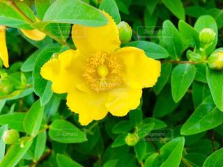 金糸梅の花の写真・画像素材[1197487]