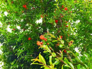 ザクロの花の写真・画像素材[1202969]