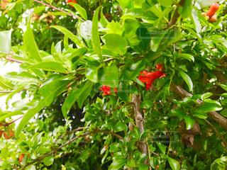 ざくろのオレンジ色の花の写真・画像素材[1202970]