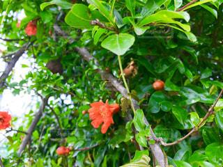ざくろの花の写真・画像素材[1202971]