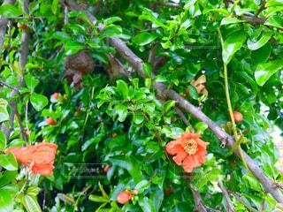 ざくろの花の写真・画像素材[1202972]