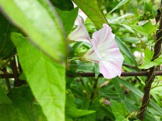 昼顔の花の写真・画像素材[1204416]