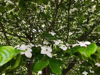 ヤマボウシの花の写真・画像素材[1204769]