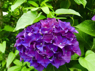紫色のあじさいの写真・画像素材[1207898]