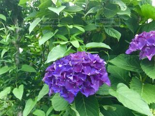 紫色のあじさいの写真・画像素材[1207899]