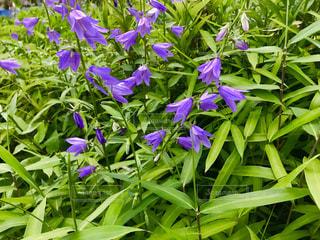 紫色のカンパニュラの花の写真・画像素材[1207957]