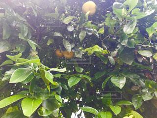 夏みかんの木の写真・画像素材[1209835]