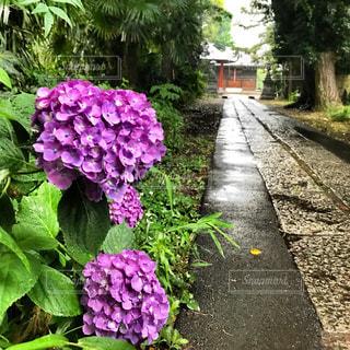 参道の紫陽花の写真・画像素材[1212398]
