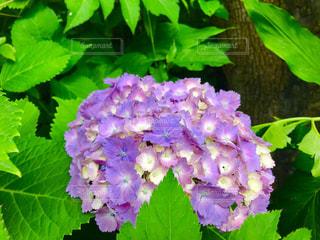 紫陽花の写真・画像素材[1213998]