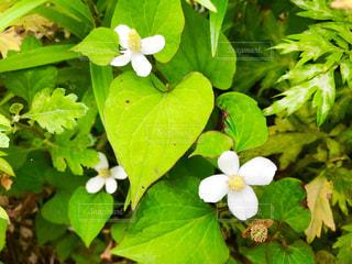 ドクダミの花の写真・画像素材[1214002]