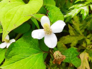 ドクダミの花の写真・画像素材[1214003]