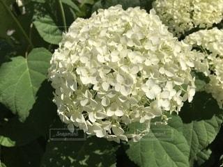 紫陽花の写真・画像素材[1219208]