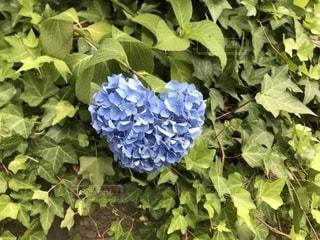 ハート型のブルーのあじさいの写真・画像素材[1225266]