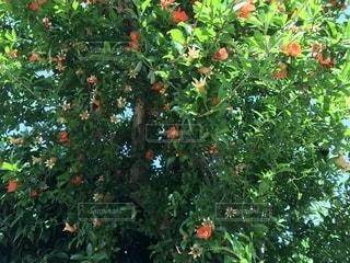 ザクロの花の写真・画像素材[1231021]