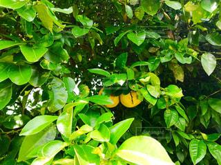 夏みかんの木の写真・画像素材[1232424]