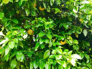 夏みかんの樹木の写真・画像素材[1232425]