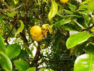 夏みかんの樹木の写真・画像素材[1232427]