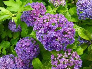 紫陽花の写真・画像素材[1236753]