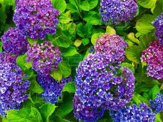 紫陽花の写真・画像素材[1236754]