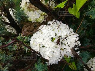 白い紫陽花の写真・画像素材[1236755]