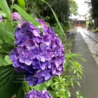 紫陽花の写真・画像素材[1246130]