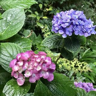 紫陽花の写真・画像素材[1246131]