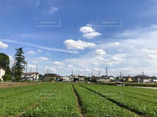 小松菜畑の写真・画像素材[1254417]