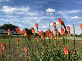 クニフォフィアの花の写真・画像素材[1254419]