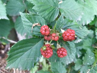 木苺の写真・画像素材[1263115]