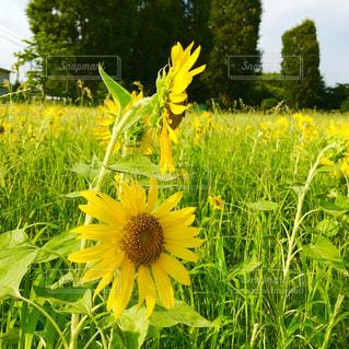 ひまわり畑の写真・画像素材[1308740]
