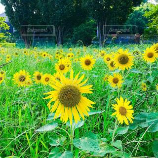 ひまわり畑の写真・画像素材[1308742]