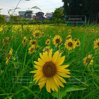 ひまわり畑の写真・画像素材[1308743]