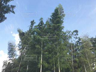 竹林の写真・画像素材[1343642]