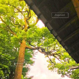 神社のクスノキの写真・画像素材[1371678]