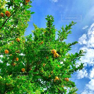 ザクロの木の写真・画像素材[1411539]