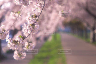 一本の桜並木の散歩道の写真・画像素材[1102235]