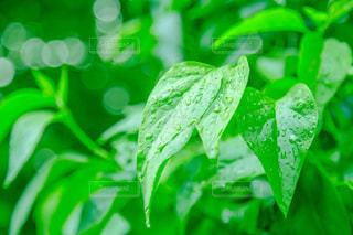 雨粒が落ちる葉っぱの写真・画像素材[1102236]