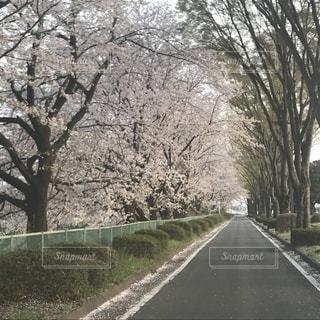 どこまでも続く道と桜の写真・画像素材[1102489]