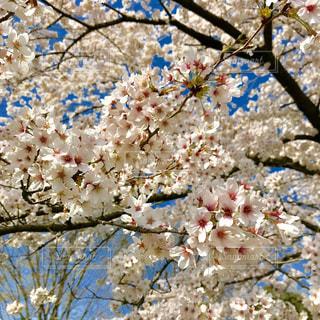 公園の桜の写真・画像素材[1102532]