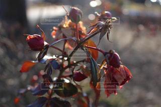 枯れた薔薇の写真・画像素材[1102849]