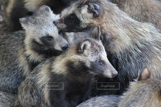 狸の群れの写真・画像素材[1106536]