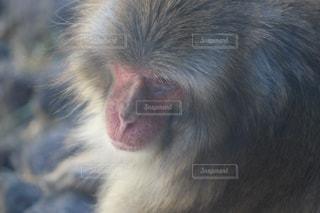 近くに猿の写真・画像素材[1106539]