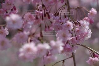 桜の写真・画像素材[1114121]