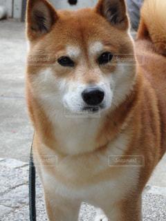 凛々しい柴犬の写真・画像素材[1106324]