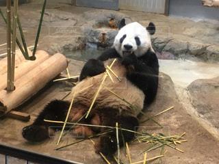 上野動物園パンダの写真・画像素材[1120931]