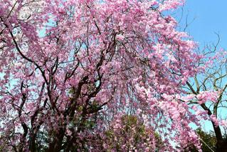 しだれ桜の写真・画像素材[1103476]