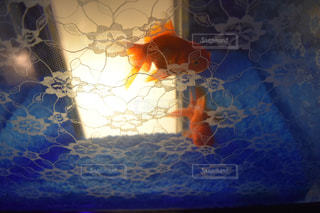 レース越し金魚の写真・画像素材[1155629]
