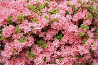 植物にピンクの花の写真・画像素材[1153461]